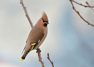 Aves in the 10th edition of Systema Naturae - The bohemian waxwing was named Lanius garrulus in 1758
