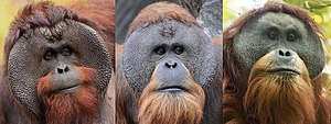 Tapanuli orangutan - Males of each orangutan species (from left to right): Bornean, Sumatran, Tapanuli