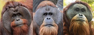 Head shots of male Bornean, Sumatran and Tapanuli orangutans