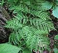 Botrypus virginianus (rattlesnake fern) (Natural Bridge State Park, northeast of Leland, Wisconsin, USA) 1 (19071577336).jpg