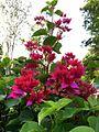 Bougainvillea Pinks.jpg