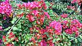 Bougainvillea glabra of Bangladesh 27.jpg