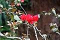 Bougainvillea spectabilis 9zz.jpg