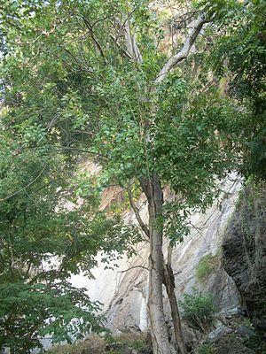Schinopsis brasiliensis - Image: Braúna