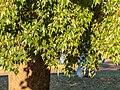 Brachychiton populneus Herbert St Boulia Central Western Queensland P1080647.jpg