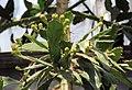 Brasiliopuntia brasiliensis Prague 2014 2.jpg
