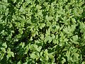 Brassica napus 13 ies.jpg