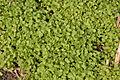 Brassica napus seedloss, koolzaad opslag uit zaaduitval (2).jpg