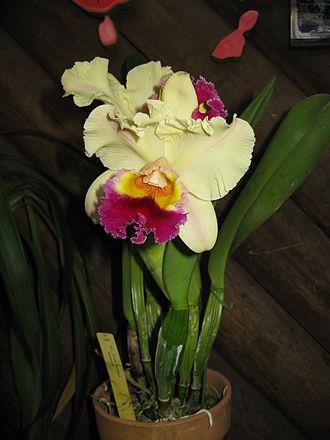 Brassolaeliocattleya - Rlc. Glen Maidment 'Aranbeen' Registered in 1998 as a Brassolaeliocattleya: Rlc. Toshie Aoki × C. Horace