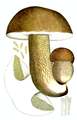 Bresadola - Boletus edulis.png