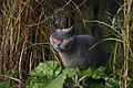 British Shorthair Cat (4160004506).jpg