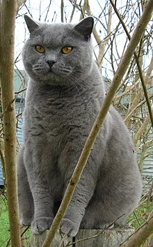 "British Shorthair azul (""British Blue"")"