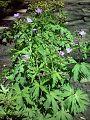 Brodziszek leśny Geranium sylvaticum.jpg