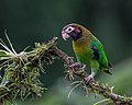 Brown-hooded Parrot (16471231772).jpg