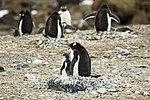 Brown Bluff-2016-Tabarin Peninsula–Gentoo penguin (Pygoscelis papua) 04.jpg