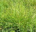 Brown Fox Sedge (Carex vulpinoidea) in wet meadow at the Morton Arboretum - Flickr - Jay Sturner (2).jpg