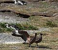 Brown Skuas and Magellanic Penguins (5541406042).jpg