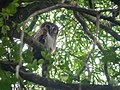 Brown Wood Owl (24165248055).jpg