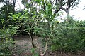 Brugmansia suaveolens 11zz.jpg