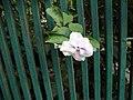 Brunfelsia pauciflora (2).jpg