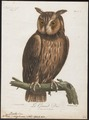 Bubo capensis - 1796-1808 - Print - Iconographia Zoologica - Special Collections University of Amsterdam - UBA01 IZ18400081.tif