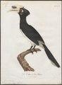 Buceros albirostris - 1801 - Print - Iconographia Zoologica - Special Collections University of Amsterdam - UBA01 IZ19300187.tif