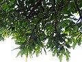 Buchanania axillaris (Cuddapah Almond) 08.jpg