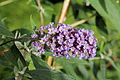 Buddleja alternifolia 'Nanho Purple'-IMG 6160.jpg