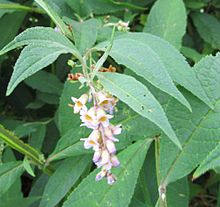 Buddleja limitanea panicle 1.jpg