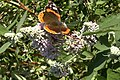 Buddleja officinalis with Red Admiral.jpg