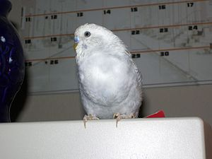 Crop (anatomy) - A male budgerigar with a full crop after feeding.