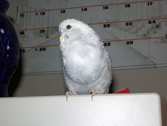 Crop (anatomy) - A male budgerigar with a full crop after feeding.