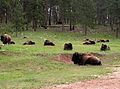 Buffalo, Tatanka (Bison bison) in Custer State Park, Pahá Sápa (Black Hills), South Dakota - Flickr - Jay Sturner.jpg