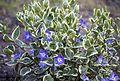 Bulgarian Flora by Katya(14229448153).jpg