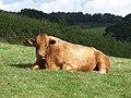 Bull, Berry Pomeroy - geograph.org.uk - 915404.jpg