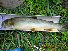 A bull trout on a measuring board in the SNRA