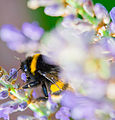 Bumble bee on lavender.jpg