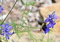 Bumblebee (2686112644).jpg