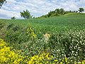 Bunias orientalis + Adonis aestivalis + Anthemis austriaca + Fumaria officinalis + Consolida regalis sl1.jpg
