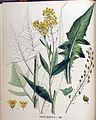 Bunias orientalis — Flora Batava — Volume v18.jpg