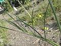Bunium bulbocastanum RH (7).jpg
