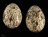 Burhinus oedicnemus insularum MHNT.ZOO.2010.11.121.11.jpg