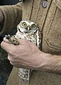 Burrowing Owl 8 myatt odfw (7591224084).jpg