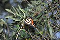 Butterfly in the olive tree (36631164130).jpg