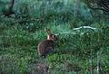 CSIRO ScienceImage 1146 European rabbit.jpg