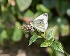 Cabbage white (13362).jpg