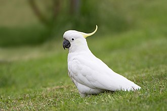 Sulphur-crested cockatoo - Walking on grass in Tasmania, Australia