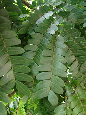Caesalpinia echinata leaves.jpg