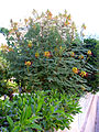 Caesalpinia gilliesii Habitus 15July2009 TorreLaMata.jpg