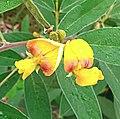 Cajanus cajan, flowers 02.jpg
